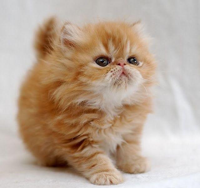 Síntomas de la cistitis en gatos