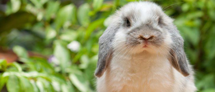 Síntomas de la mastitis en conejos