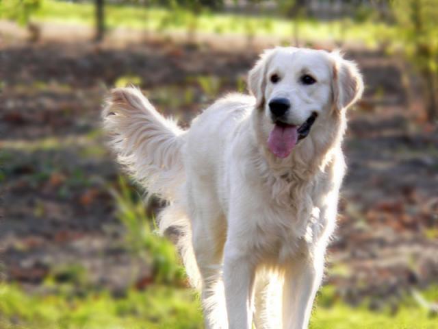 Síntomas de la neumonía en perros