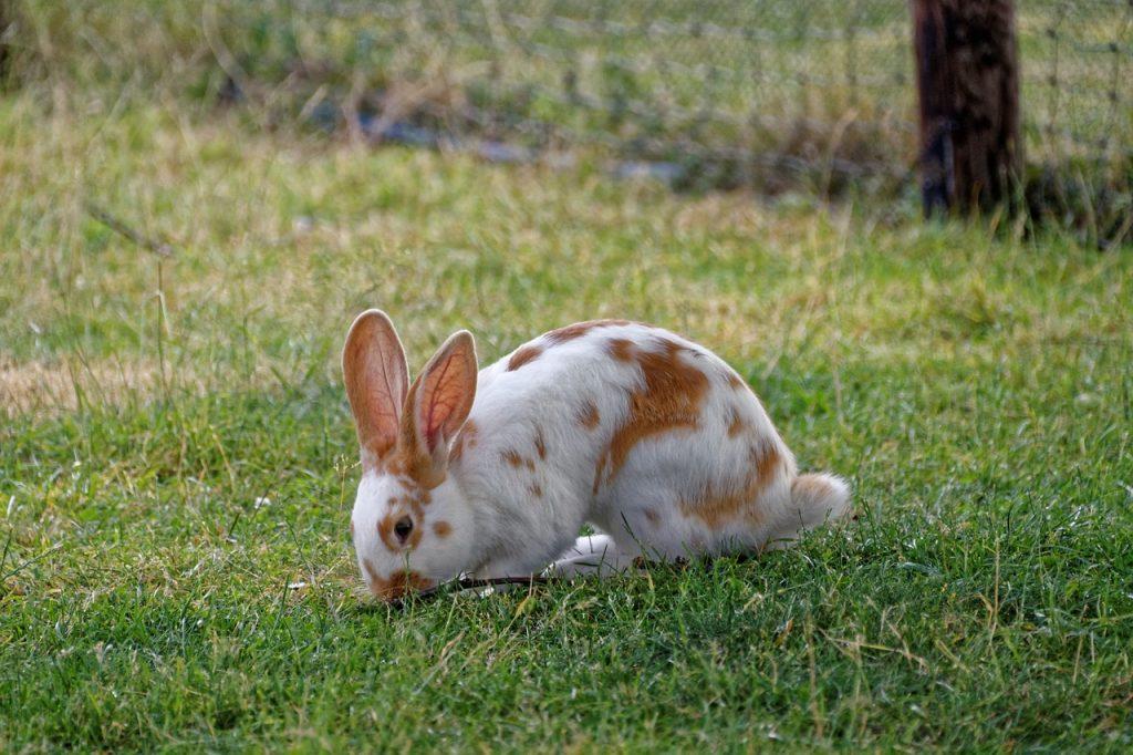 Síntomas de la otitis en conejos