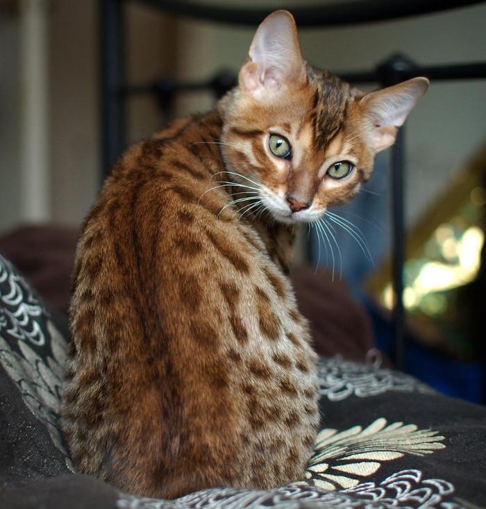 Síntomas de las cataratas en gatos