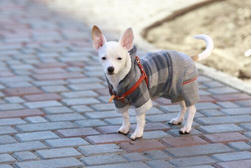 Síntomas de un perro con resfriado