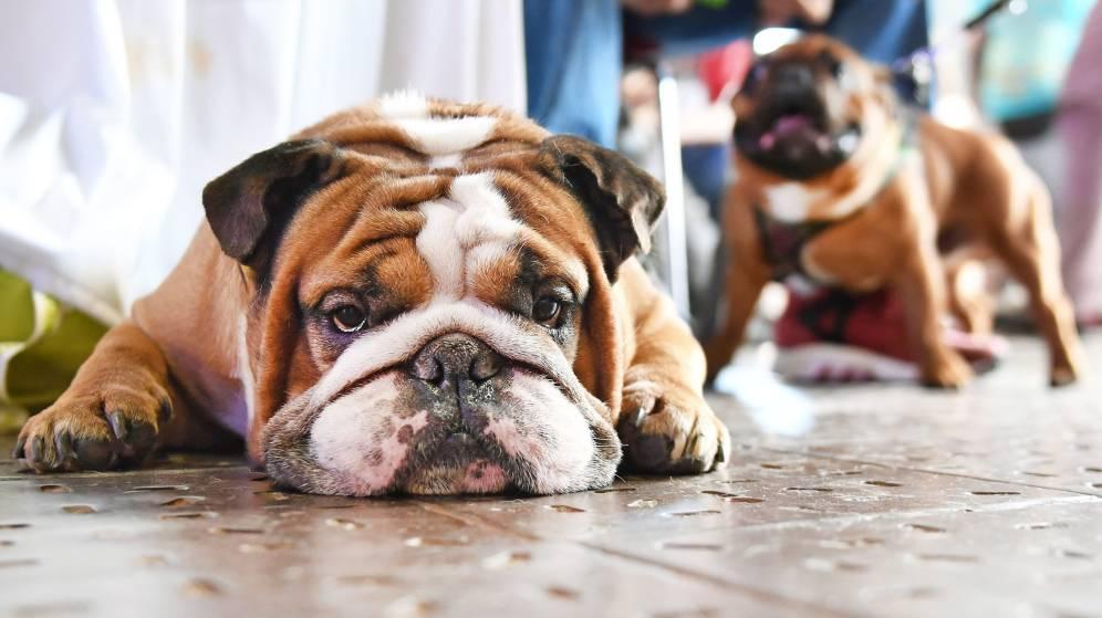 Síntomas del edema pulmonar en perros