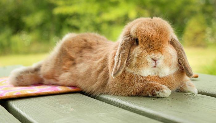 Síntomas del estrés en conejos