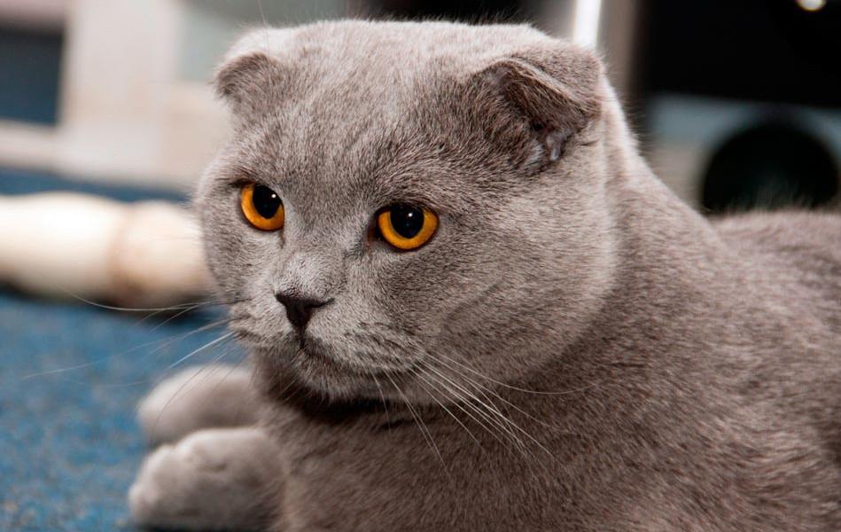Salud de la raza de gato Highland fold