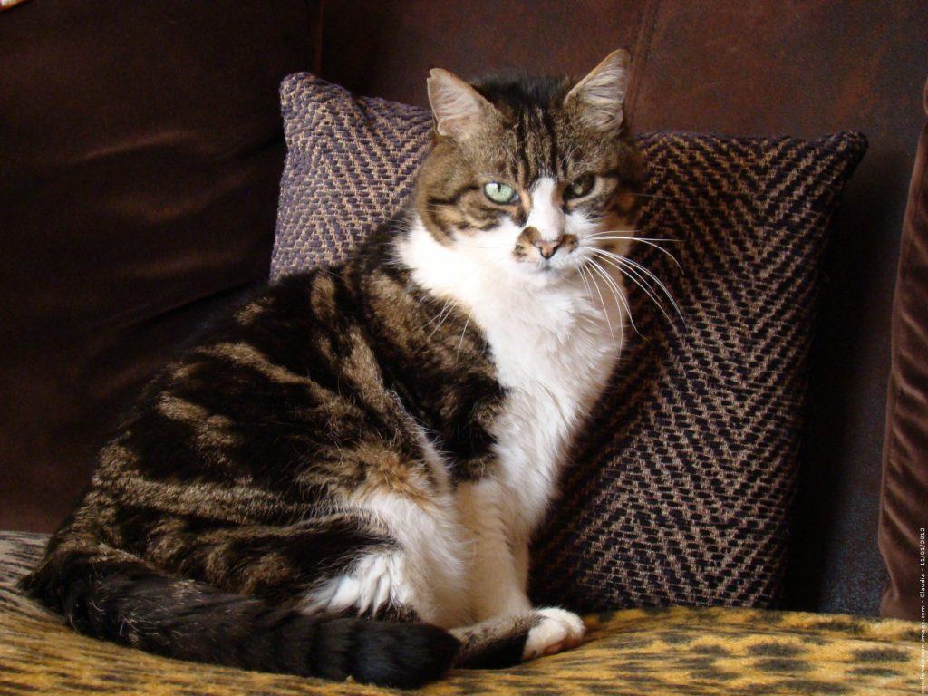 Salud de la raza de gato europeo de pelo corto