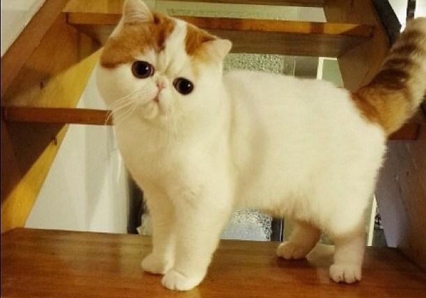Salud de la raza de gato exótico de pelo corto