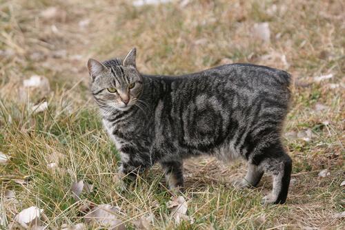Salud de la raza de gato manx