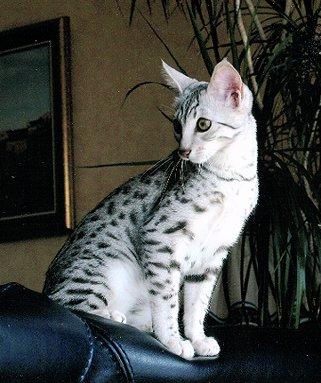 Salud de la raza de gato mau egipcio