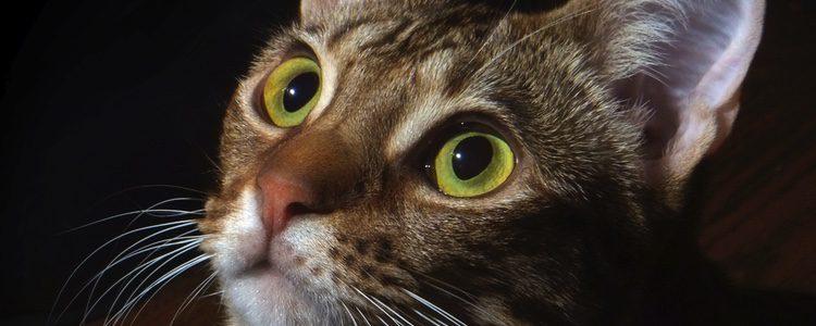 Salud de la raza de gato ocicat