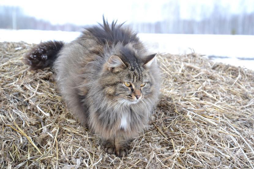 Salud de la raza de gato siberiano