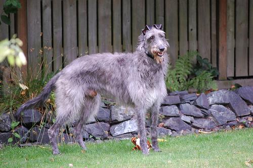 Salud del galgo escocés o deerhound