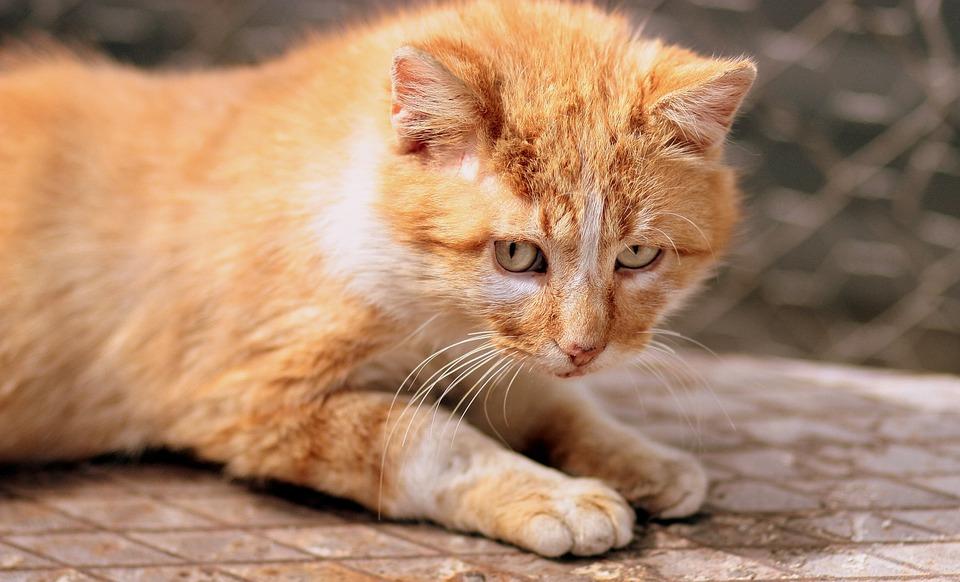 Salud del gato atigrado naranja
