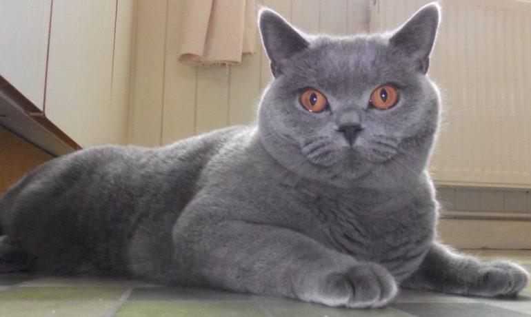 Te descubrimos la raza de gato británico de pelo corto azul