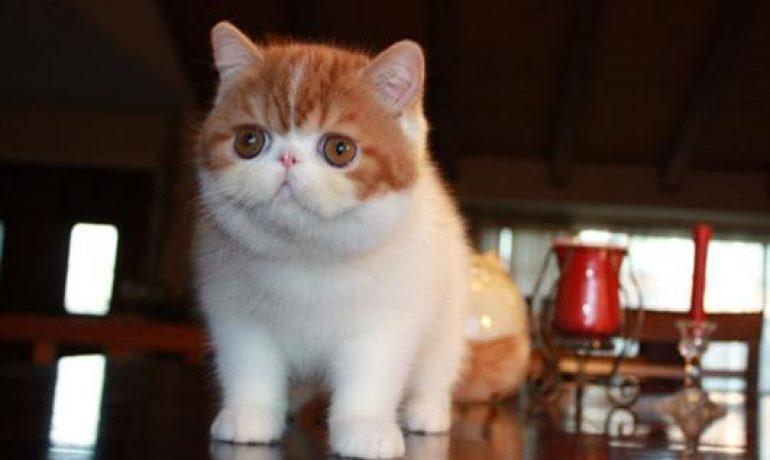 Caracter del gato exotico de pelo corto
