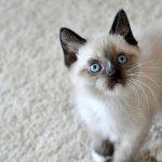 Te hablamos de la raza de gato snowshoe