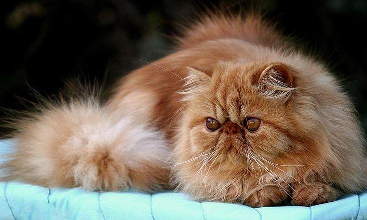 Qué es la gastroenteritis felina