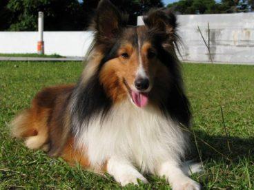 Te hablamos sobre la raza de perro pastor de Shetland