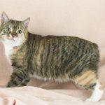 Te presentamos a la peculiar raza de gato manx