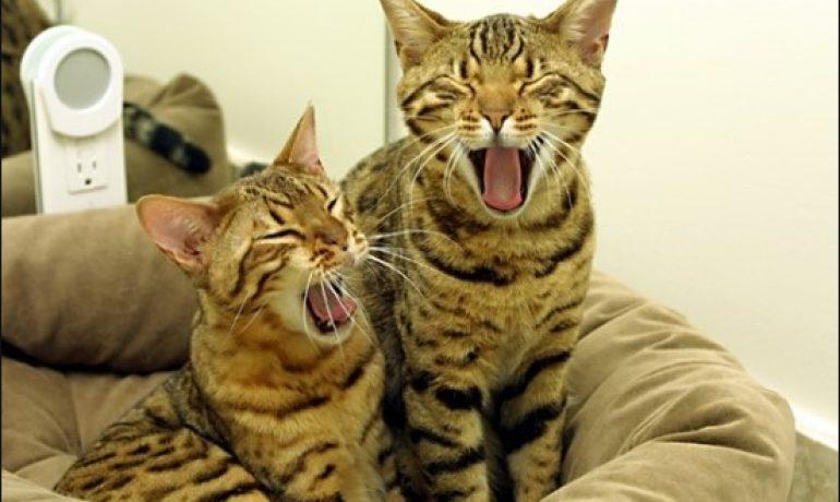 Te presentamos a la raza de gato ocicat