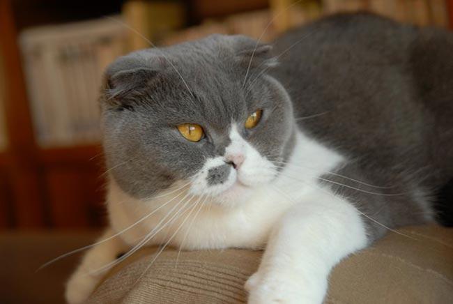 Temperamento de la raza de gato Highland fold