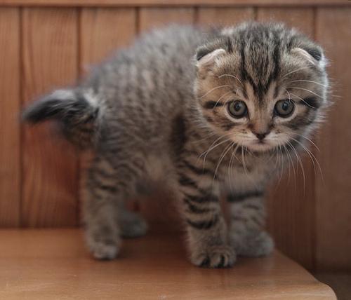 Temperamento de la raza de gato Scottish fold