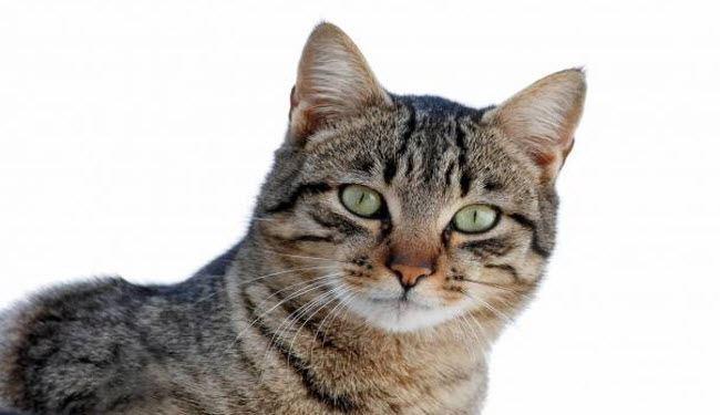 Temperamento de la raza de gato europeo de pelo corto