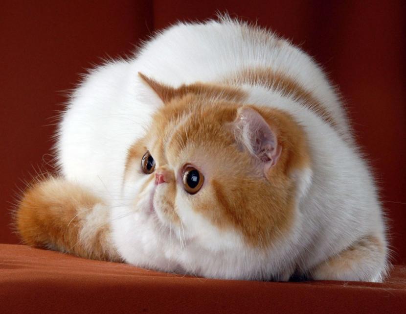 Temperamento de la raza de gato exótico de pelo corto
