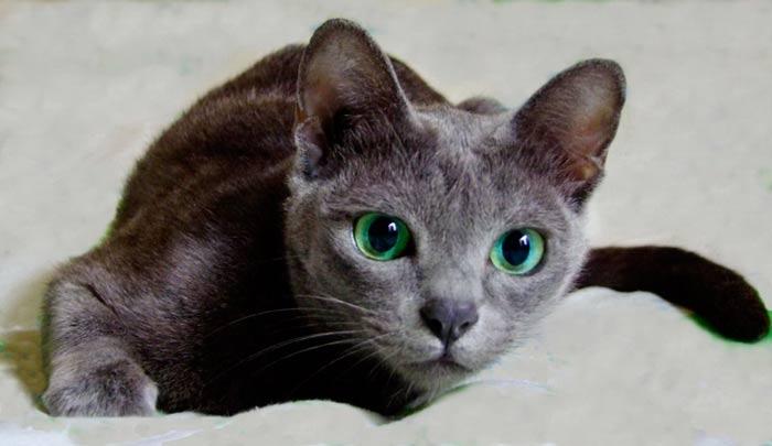 Temperamento de la raza de gato korat