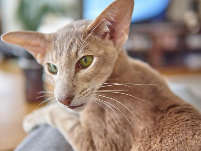 Temperamento de los gatos orientales de pelo corto