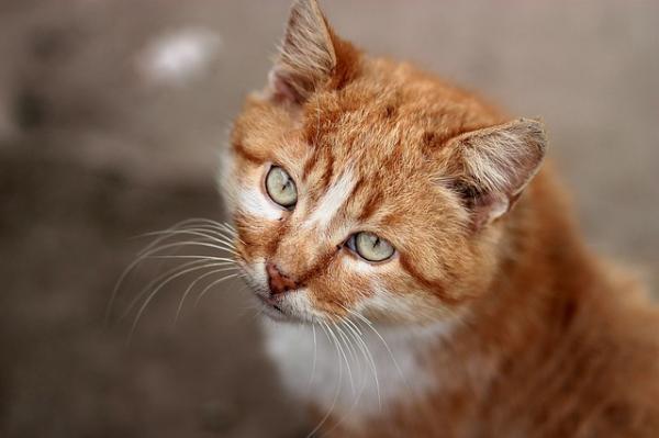 Temperamento del gato atigrado naranja