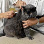 Todo lo que necesitas saber sobre la diabetes en gatos