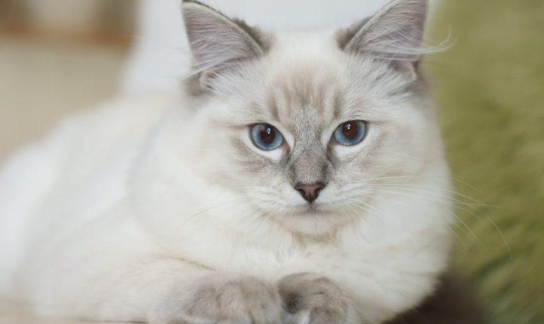 Todo lo que necesitas saber sobre la raza de gato javanés
