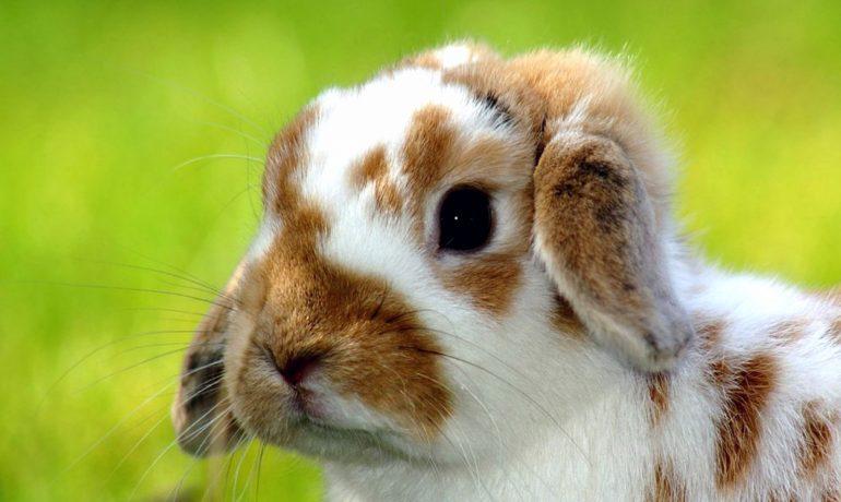 Todo lo que necesitas saber sobre las garrapatas en conejos