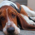 Todo sobre el edema pulmonar en perros