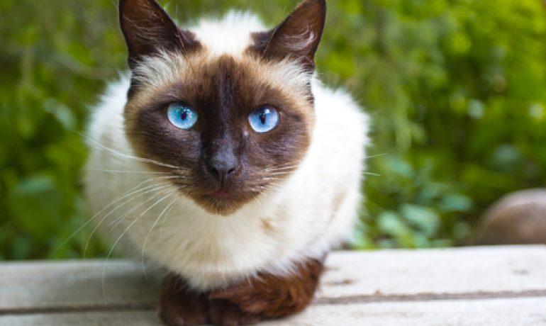 Todo sobre la Cistitis en gatos