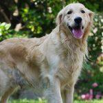Todo sobre la cardiomiopatía dilatada canina