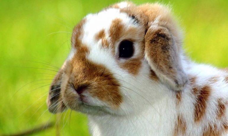 Todo sobre la fiebre en conejos