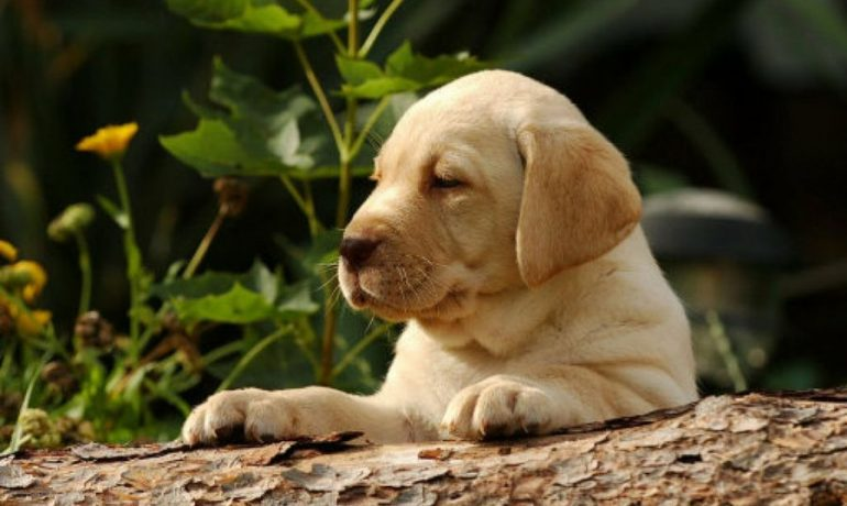 Todo sobre la insuficiencia cardíaca en perros