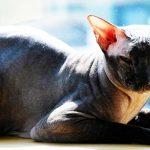 Todo sobre la raza de gato Peterbald