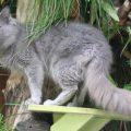 Todo sobre la raza de gato nebelung