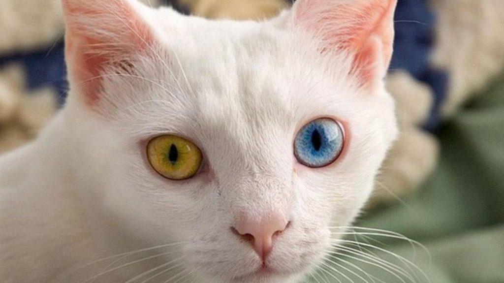 Tratamiento de la artritis en gatos