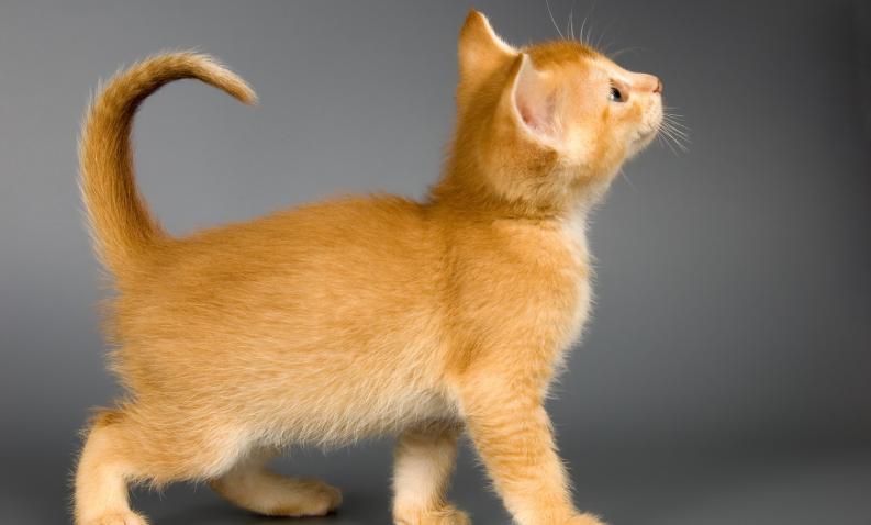 Tratamiento de la cistitis en gatos