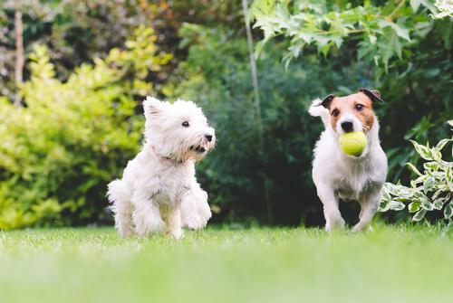 Tratamiento de la disfunción cognitiva en perros
