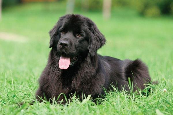 Tratamiento de la neumonía en perros