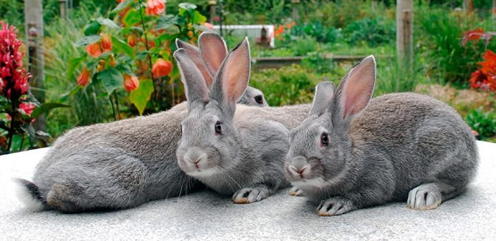 Tratamiento de la pasteurella en conejos