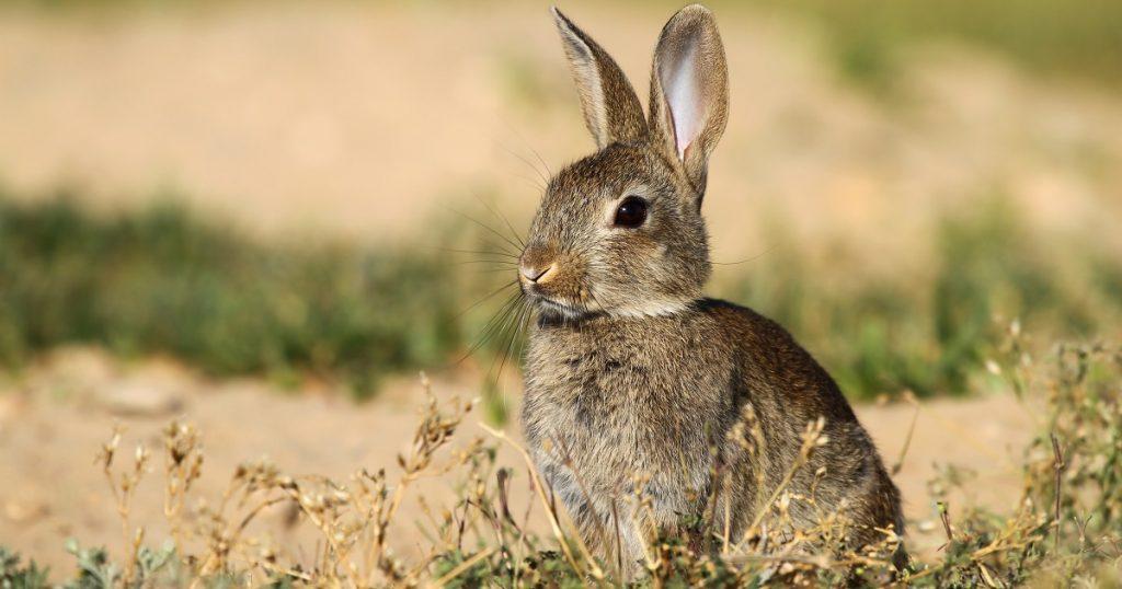 Tratamiento de la pasteurelosis en conejos