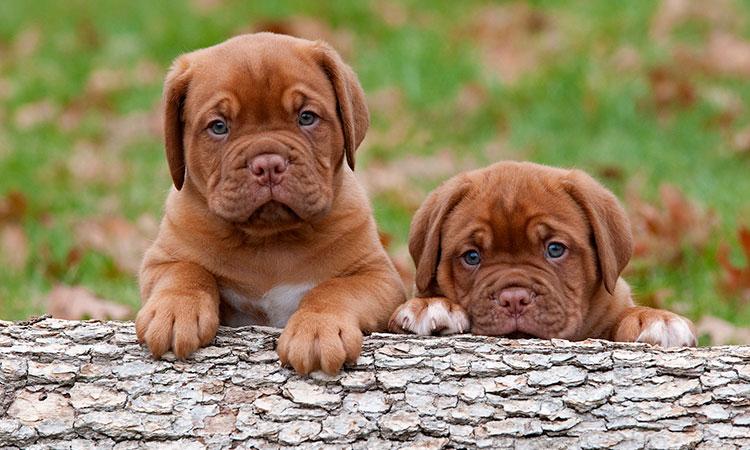 Tratamiento de la tenia en perros