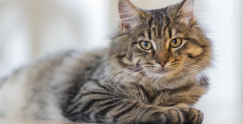 Tratamiento de los parásitos externos en gatos