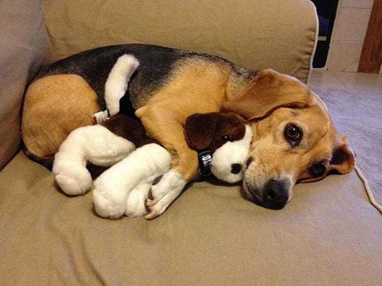 Resultado de imagen para líquido en los pulmones) en perros